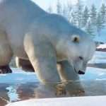 Planet Zoo Polar Bear